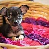 Rockaway New Jersey Chihuahua Meet Cabernet Lonestar A For