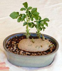 Potato Bonsai Tree.  Fun project for kids.