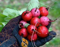 Plant and harvest a healthy, delicious crop of radishes in 30 days with these basic growing tips.