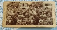 Antique stereo photo/stereoview Chrysanthemums 500 Varieties Strohmeyer&Wyman NY Antique Photos, Vintage Photos, Vitiligo Skin, Us Battleships, Mass Building, Mount Washington, Chrysanthemums, Antiques, Flowers