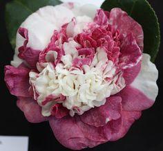 Camellia japonica 'Magalhaes Variegated' (Australia, 1987)