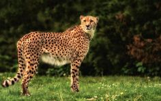 """""""the Gepard"""" by Michael Rehbein on 500px"""