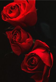 Captivating Why Rose Gardening Is So Addictive Ideas. Stupefying Why Rose Gardening Is So Addictive Ideas. Flowers Nature, My Flower, Pretty Flowers, Red Flowers, Flower Power, Red Roses, Shades Of Red, Beautiful Roses, Belle Photo