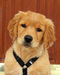 Golden puppy Roxie