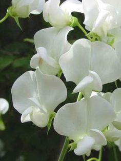 Sweet Pea 'White Ensign'