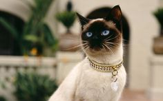 cool cat with diamond collar wallpaper