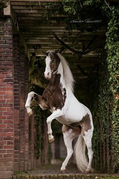 Gorgeous black and white horse rearing up in the walkway.