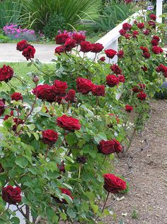 Red Climbing roses on white fence