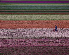Photograph by @paulnicklen // While heading to the World Press Photo Awards celebration in Holland, I noticed a father walking with his young daughter through their tulip fields.  Whether we are shooting in nature or shooting something manmade, photography always comes down to mood, composition, light, shapes, patterns, subject and story.  #followme on @paulnicklen and check out some of my favorite story-telling photographs.  #photography #flowers #family #love #patterns #tulips #gratitude…