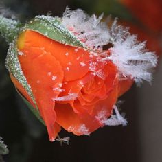 By TravelLight, winter, frost, flowers, rose uploaded by mittens on imgfave Orange Roses, Red Roses, Orange Blossom, A Touch Of Frost, Ronsard Rose, Frozen Rose, Snow Flower, Snow Rose, Winter Scenery