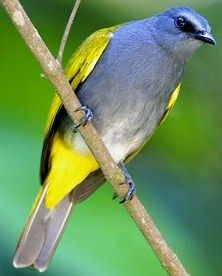 The Grey-bellied Bulbul (Pycnonotus cyaniventris) is a species of songbird in the Pycnonotidae family. It is found in Brunei, Indonesia, Malaysia, Burma, Singapore, and Thailand.