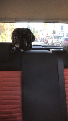 Cane Corso, Switzerland, Dogs, Animals, Animais, Animales, Animaux, Pet Dogs, Doggies