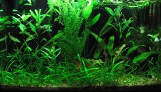 I have had a lot of friends asking how I keep my aquarium plants so green and healthy. The trick is to have good lighting (around 1.5w per gallon) and carbon dioxide to help your plants grow when that good lighting is on.  So instead of...