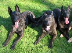 Three Dutch sheperd's