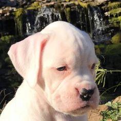 Boxer puppy Credit to Brett Kaemmerer