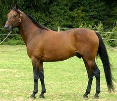 French trotter stallion, Coktail Jet.      l