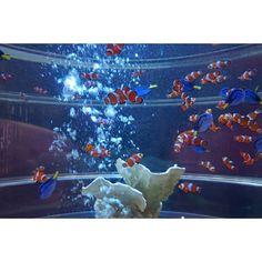 【rie_0211】さんのInstagramをピンしています。 《日本橋三井タワー1階に、ファインディングドリーの水槽を発見!カクレクマノミとナンヨウハギがたくさん❤  #ドリーを探せ #マンダリンオリエンタル東京#日本橋#アートアクアリウム #アクアリウム #水槽#金魚#きんぎょ#kingyo#スイーツ部 #sony#sonya5000#a5000#α5000#sonya5000photography#写真撮ってる人と繋がりたい#写真好きな人と繋がりたい#写真#カメラ女子#ファインダー越しの私の世界#カメラ部#日本の夏 #写真#ブロガー#Blogger#FF#instafollow#l4l#tagforlikes#instagood#photooftheday》