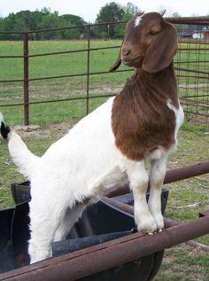 Boer bucklings and doelings ... for sale Quitman, Texas