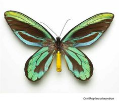 The world's largest butterfly is now also one of the most endangered, surviving only on a tiny plot of coastal rain forest in the Popendetta Valley of eastern Papua New Guinea. The spectacular Queen Alexandra's Birdwing (Ornithoptera alexandrae) has been forced into an ever-smaller range by decades of deforestation and natural disaster. This species, which feeds exclusively on the vines and foliage of local pipevine (Aristolochia) plants and thrives only in lowland old-growth rain forest, lost a Beautiful Bugs, Beautiful Butterflies, Butterfly Flowers, Butterfly Wings, Natural World, Natural History, Flying Insects, Largest Butterfly, Flora And Fauna