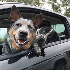 """""""Beaux and Nala ready to take a cruise in the car"""" writes @beaux the blueheeler #dogsofinstagram #dog #animals #cats #instagood"""
