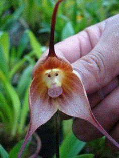 Interesting! Monkey Orchid