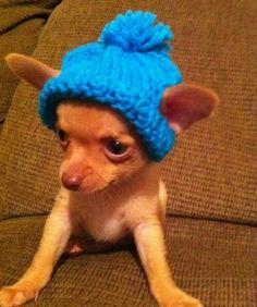 Cute little guy wearing an adorable little Chihuahua hat. 6194b9fdb6e