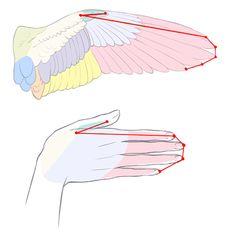 手と翼の共通点 テキトーに描くのはもったいない! 見栄え×リアルさを融合した翼の描き方講座 イラスト Drawing Wings and Feathers   Illustration tutorial
