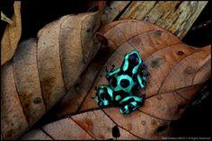 Poison dart frog (Dendrobates aratus)