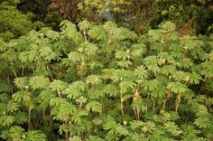 Fatsia Shrubs grow in colonies.