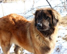 Leonberger pups for adoption from fishburn Homestead & Kennel Giant Schnauzer, Amazing Dogs, Puppies For Sale, Absolutely Stunning, Poodle, Best Dogs, Homestead, Animals, Animales