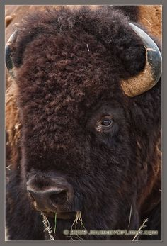 A buffalo profile at Ft. Niobrara National Wildlife Refuge. - Photograph, Image, Picture