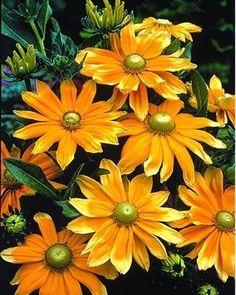 Rudbeckia hirta 'Prairie Sun' by jannyshere
