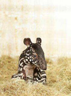 Baby Tapir - one of the most amazing creatures :)