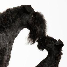 Behind eyes - Kerry Blue Terrier