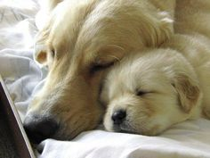Mum her Cute Golden Retriever Puppy both having a Nap Cute Puppies, Cute Dogs, Dogs And Puppies, Doggies, Baby Animals, Funny Animals, Cute Animals, Animals Images, Retriever Puppy