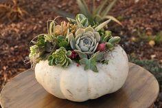 Current Obsession: DIY Pumpkin Succulents aka Pumpkulents | TLCme | TLC