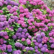 Adding coffee grounds or other organic material to your hydrangea's soil will reduce the pH level and make aluminum more available to the pl...