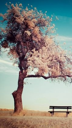 Nature Cherry Blossoms Trees