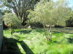 Festuca rubra grass, olive trees