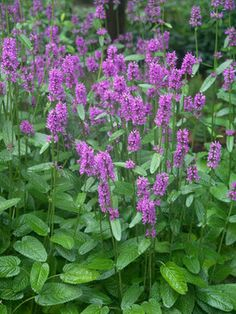 Stachys officinalis Hummelo   Betony, Woundwort  z4-8, likes sun, blooms early to late summer.  It has wealth of rose-lavender spikes on short stalks all summer that are very decorative and last a long time as a cut flower.