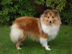 sheltie puppies - Yahoo Image Search Results