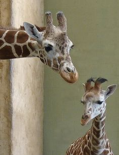 Mama Giraffe & Her Baby - It's not just human moms that are annoying with hair...