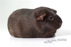 Lillyfoot Meerschweinchen in Schokolade. :o))