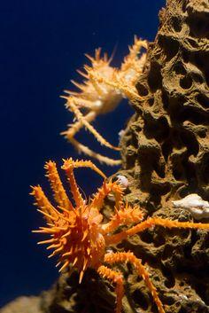 *Spiny King Crab (by FrancoisBoucher)