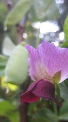 Bezelye çiçeği-Peases flower