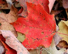 Autumn Fallen Leaves #Photography Print- Red Maple Leaf #Etsy #wallart Fallen Leaves, Autumn Leaves, Leaf Photography, Changing Leaves, Leaf Art, Art Quotes, Wall Art, Red, Etsy