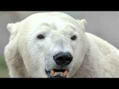 All About Polar Bears - YouTube