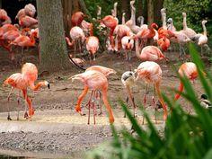 Flamingos - Chester Zoo