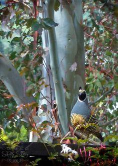 quail in my yard