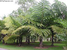 fishtail palm tree - Google Search